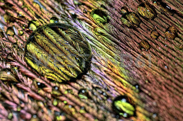 Water drops on peacock's feather, close-up - MJOF000025