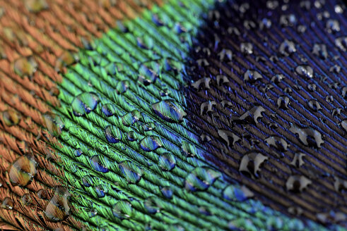 Water drops on peacock's feather, close-up - MJOF000031