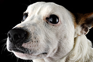 Portrait of Jack Russel Terrier in front of black background - MJOF000075