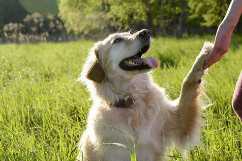 Portrait of Golden Retriever giving paw - BFRF000428