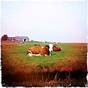 Germany, North Frisia, Langeness, cows on pasture - MMO000015