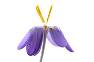 Crocus in front of white background - MJOF000056