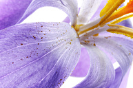 Crocus with pollen, detail - MJOF000053