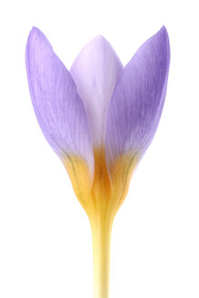 Crocus in front of white background - MJOF000051