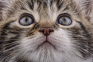 Portrait of tabby kitten, Felis silvestris catus, partial view - MJOF000079
