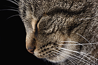 Portrait of tabby cat, Felis silvestris catus, with closed eye, profile - MJOF000093