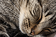 Portrait of sleeping tabby cat, Felis silvestris catus, partial view - MJOF000095