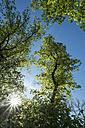 Germany, Baden Wuerttemberg, Constance district, Old Linden Trees, Tilia - ELF000984