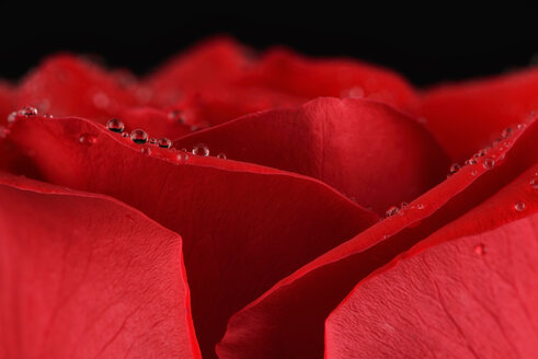 Petals of red rose, Rosa, with water drops, partial view - MJO000108