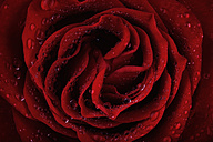 Blossom of red rose, Rosa, with water drops, partial view - MJOF000121