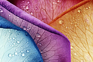 Water drops on coloured petals of rose, Rosa, partial view - MJOF000123