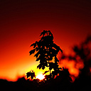 Germany, North Rhine-Westphalia, Minden, Sunset, Maple leaves, Acer - HOHF000799