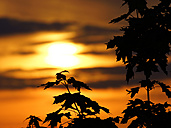 Germany, North Rhine-Westphalia, Minden, Sunset, Maple leaves, Acer - HOHF000797