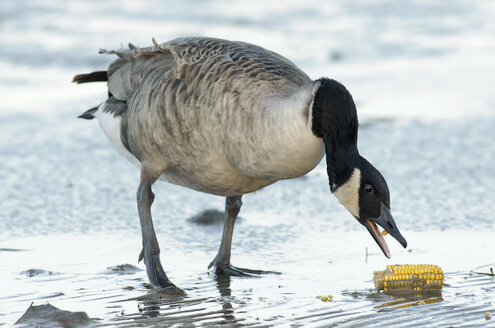 Canada goose, Branta canadensis, with corn cob at waterside - HACF000115
