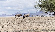 Namibia, Namib Naukluft National Park, Two Oryx - HLF000511
