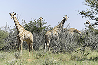 Namibia, Etosha National Park, Group of Giraffes - HLF000520