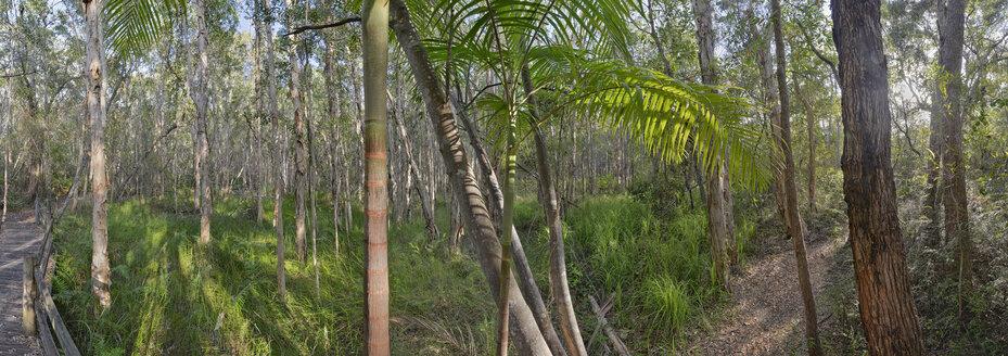 Australia, New South Wales, Pottsville, bamboo and melaleuca trees, Melaleuca - SHF001285
