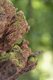 Australia, New South Wales, Dorrigo, skink, Scincidae, sitting on dead wood - SHF001297