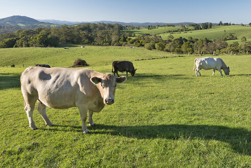 Australia, New South Wales, Dorrigo, grazing cattles on a meadow - SH001305