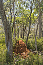 Australia, New South Wales, Ebor, termite hill in the forest - SHF001332