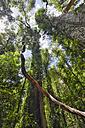 Australia, New South Wales, Dorrigo, climber in the rainforest in the Dorrigo National Park - SHF001327