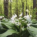 Germany, North Rhine-Westphalia Eifel, bluehender Baerlauch (Allium ursinum), Buchenwald, Spring - GWF002760