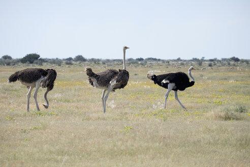 Africa, Namibia, Etosha National Park, Three African Ostriches, Struthio camelus - HLF000542
