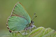 Germany, Green hairstreak butterfly, Callophrys rubi, sitting on plant - MJOF000201