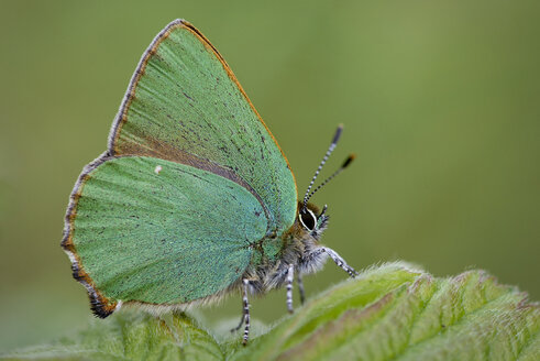 Germany, Green hairstreak butterfly, Callophrys rubi, sitting on plant - MJOF000201