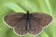 Germany, Ringlet butterfly, Aphantopus hyperantus, sittig on plant - MJOF000209