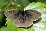 Germany, Ringlet butterfly, Aphantopus hyperantus, sittig on plant - MJOF000217
