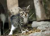 Tabby kitten, Felis silvestris catus - SLF000428