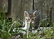 Tabby kitten, Felis silvestris catus, walking in front of old barn - SLF000429