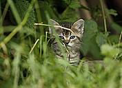 Tabby kitten, Felis silvestris catus, sittiing in grass - SLF000432