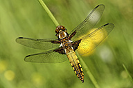 Broad-bodied chaser, Libellula depressa - MJOF000240