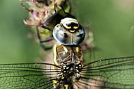 Migrant hawker, Aeshna mixta, close-up - MJOF000247