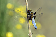 Broad-bodied chaser, Libellula depressa - MJOF000250