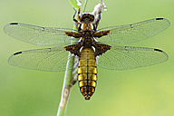 Broad-bodied chaser, Libellula depressa - MJOF000257