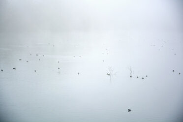 Germany, Bavaria, Johanneskirchen, Black coots, Fulica atra, on a lake in the fog - AXF000680