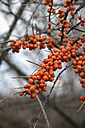 Germany, Bavaria, Feldkirchen, Branches of common sea-buckthorn, Hippophae rhamnoides - AXF000675