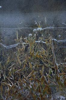 Germany, Bavaria, Dornach, Frozen pond with grasses - AXF000677