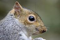 Head of grey squirrel, Sciurus carolinensis - MJOF000266