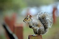 Grey squirrel, Sciurus carolinensis, balancing - MJOF000269