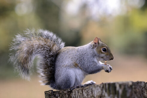 Grey squirrel, Sciurus carolinensis, with feed on tree trunk - MJO000270