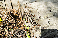 Ants crawling on wooden stair - TKF000346
