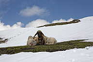 Austria, Tyrol, Innsbruck, Shep and lambs lying on pasture in snow - GFF000488