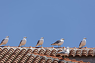 Kroatia, Korcula island, Yellow-legged Gulls, Larus michahellis, on roof - GFF000500