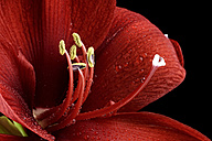 Blossom of red amaryllis, Amaryllidaceae, partial view - MJOF000337