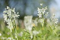 Germany, Mecklenburg-Western Pomerania, Ruegen, Flowers in meadow - MJF001176