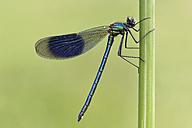 Banded demoiselle, Calopteryx splendens, hanging at blade - MJO000349